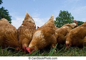 выгон, raised, вскармливание, chickens