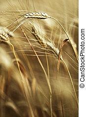 выращивание, созревший, ферма, поле, ячмень, готов, уборка урожая, ears