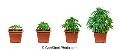 выращивание, фаза, марихуана
