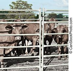 говядина, промышленность, загон для скота, крупный рогатый скот, сельскохозяйственное, сдержанный