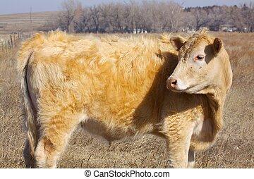 годовалый, корова