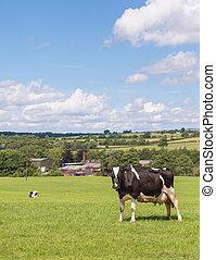 гольштейн, поле, корова