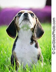 гончая, трава, whiskers), чистокровный, щенок, (focus, красивая