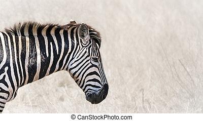 горизонтальный, баннер, зебра, burchells