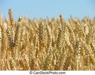 готов, кукуруза, уборка урожая