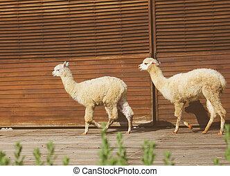 гулять пешком, ферма, два, эффект, фильтр, alpacas, ретро