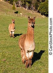 два, alpacas, suri, любопытный