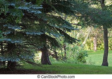 дерево, лес, сосна