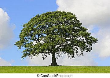 дерево, символ, прочность, дуб