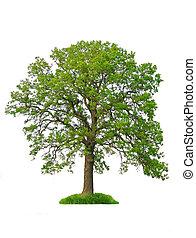 дерево, isolated