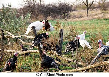 деревянный, клевок, забор, turkeys, деревня