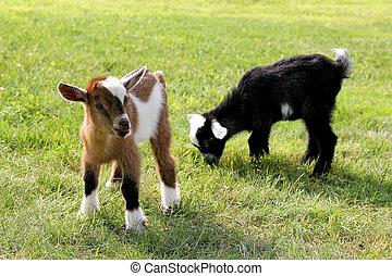 детка, ферма, трава, принимать пищу, goats