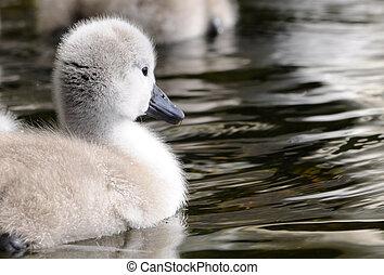 детка, цыпленок, пушистый, лебедь