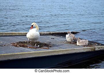 детка, chicks, лебедь, море, балтийский