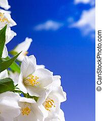 жасмин, изобразительное искусство, цветы, задний план