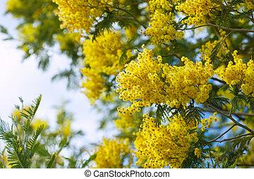 желтый, акация, ветви