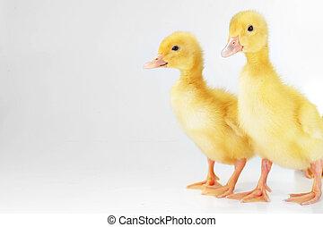 желтый, пушистый, ducklings