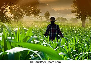 женщина, гулять пешком, кукуруза, фермер, рано, поля, утро