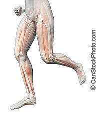 женщина, нога, -, видимый, бег трусцой, muscles
