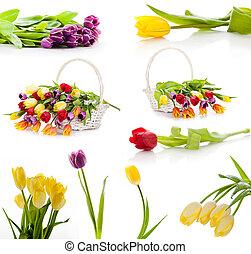 задавать, красочный, tulips, isolated, flowers., задний план, весна, свежий, белый