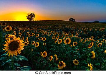 закат солнца, sunflowers, backlit