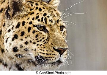 закрыть, леопард, вверх