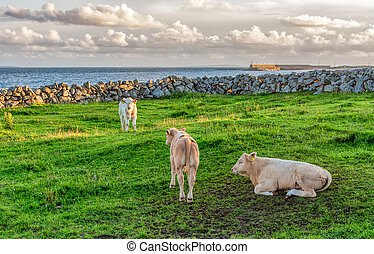 зеленый, трава, calves, ирландия