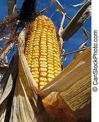 золотой, кукуруза, нива