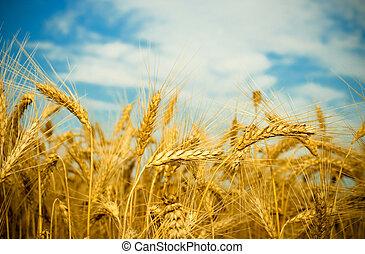 золотой, пшеница, поле