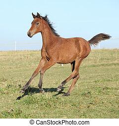 идеально, лошадь, жеребенок, бег, арабский, пастьба