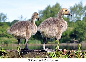 канада, гусь, goslings