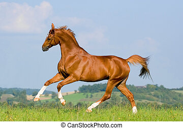 каштан, поле, лошадь, бег