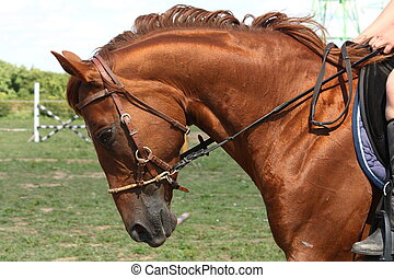 каштан, портрет, лошадь, уздечка