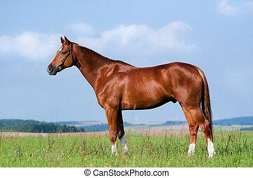 каштан, постоянный, лошадь, поле