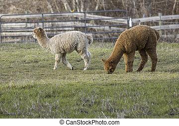 клевок, трава, pasture., alpacas