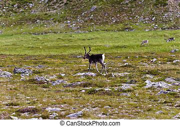 клевок, тундра, норвегия, северный олень