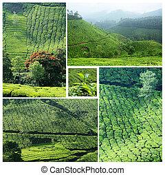 коллаж, известный, munnar, plantations, чай