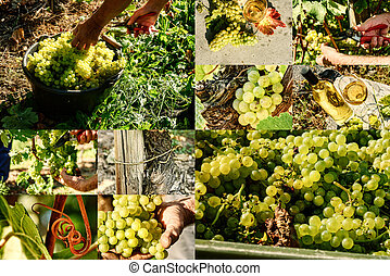 коллаж, крупным планом, белый, виноград, harvesting