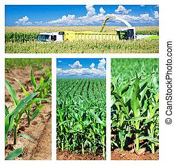 коллаж, кукуруза, поле