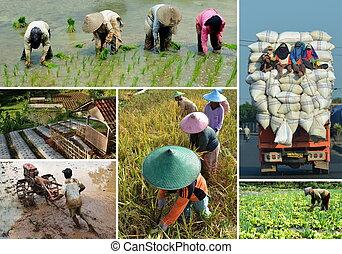 коллаж, поле, рис, сельское хозяйство