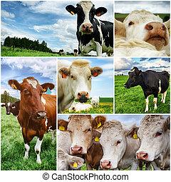 коллаж, сельскохозяйственное, cows