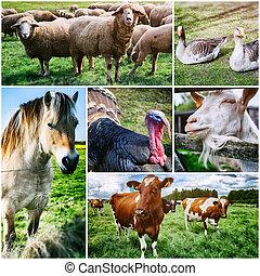 коллаж, ферма, различный, animals, сельскохозяйственное