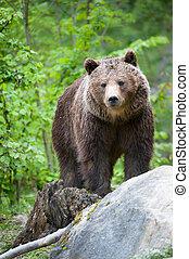 коричневый, медведь