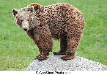 коричневый, медведь, камень