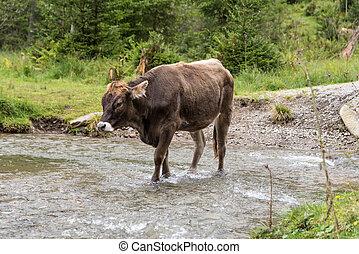 коричневый, runs, вокруг, корова, freely