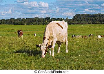 корова, выгон
