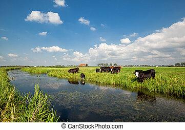 корова, выгон, услышанным, река