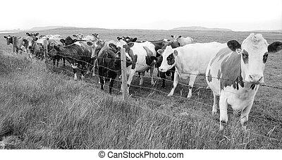 корова, пасти