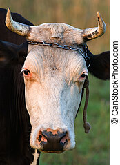 корова, horns