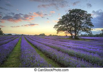 красивая, атмосферный, созревший, вибрирующий, сельская местность, поля, образ, небо, лаванда, оглушающий, закат солнца, английский, clouds, над, пейзаж